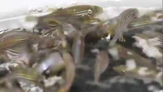 Download iSpawn - Zebrafish breeding at Children's Hospital Boston Video