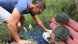 Download Rescuing BABY TURTLES From HUNGRY Pond EATERS!! Video