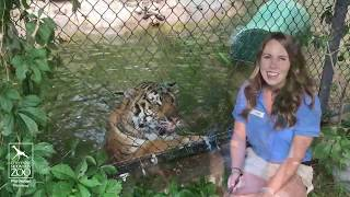 Download Come Celebrate Global Tiger Day on Monday, July 29 Video