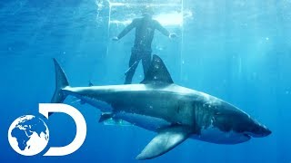 Download Gigantic Sharks Break Into Ghost Cage | Island of The Mega Shark Video