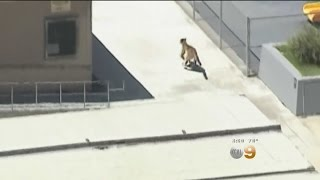 Download Mountain Lion Strolls Around Granada Hills Neighborhood Video