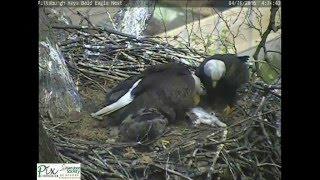 Download Hays bald eagles bring cat to nest for eaglets Video