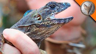 Download Flying Lizard Catch! Video