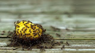 Download Natural Ways To Get Rid Of Ants Without Using Pesticide Video