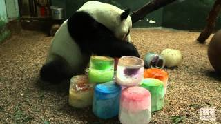 Download Panda Yang Yang's 17th Birthday Video