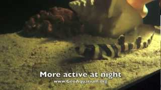Download A Shark Story - Birth Of A Banded Bamboo Shark From An Egg Case - GeoAquarium Video