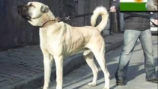 Download Der Kurdische Kangal Hund 2011 Video