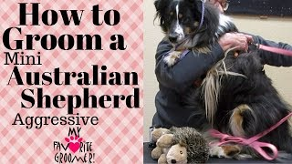Download Grooming a Mini Australian Shepherd Aggressive Video