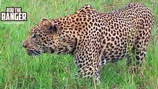 Download Leopard Stalks Warthog And Fails Video