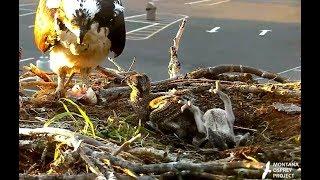 Download Food for all! Hellgate Ospreys. 20.28 / 19 June 2018 Video