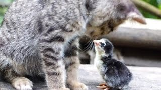 Download 生まれたヒヨコが猫を母親と勘違い【仲良し猫とひよこ♪】 Video