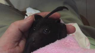 Download Baby bat's first taste of fruit: this is Asha Video