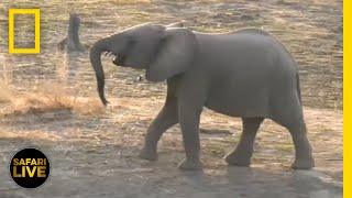 Download Safari Live - Day 7 | National Geographic Video