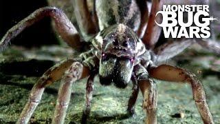 Download Sydney Funnel Web Vs Wolf Spider | MONSTER BUG WARS Video