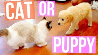 Download MY SAVAGE CAT MEETS MY NEW PUPPY. | Vlogtowski Video
