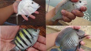 Download Multi-Species Fishing the Top of the Florida Reefs (Fort Lauderdale, FL) Video