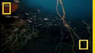 Download Strange Japanese Sea Creatures | National Geographic Video