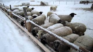 Download Feeding Sheep Video