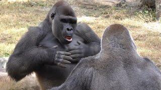 Download Gorillas Play Fight 1Hour UHD 4K FYV Video