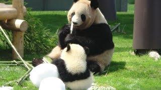 Download 彩浜の雪遊び♪ お母さんのそばで雪で遊んだり、竹で遊ぶかわいい赤ちゃんパンダ♪ Video