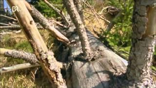 Download Wildes Bayern - Geburt eines Urwaldes (2 von 3) Video