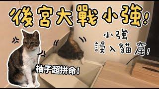 Download 【黃阿瑪的後宮生活】後宮大戰小強!小強誤入貓窟! Video