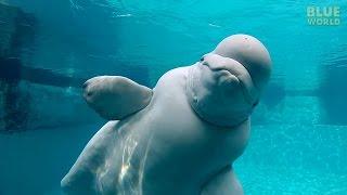 Download Beluga Whales of the Mystic Aquarium   JONATHAN BIRD'S BLUE WORLD Video