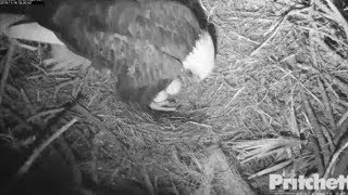 Download SWFL Eagles ~ HARRIET LAYS EGG #2! Welcome To The World! M15 On Nest Again! XOXO ♥♥ 11.16.19 Video