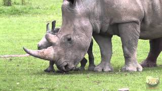 Download Baby Rhinoceros ″Astrid″ at Cotswold Wildlife Park, 1st July 2013 Video