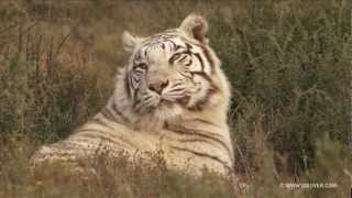 Download Tigers and Leopards Video