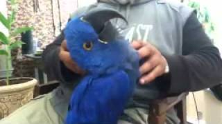 Download Scooby the Hyacinth macaw cuddling with Ahura Z Video
