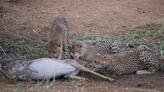 Download Cheetah mom and kids find their breakfast Part 1 Video