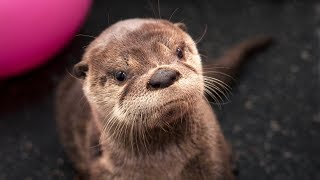 Download Second Chances: Tilly the river otter Video