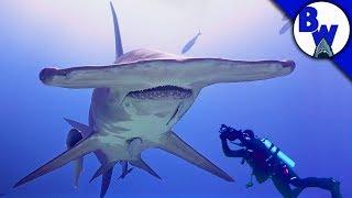 Download MASSIVE Hammerhead Shark Filmed in Bahamas! Video