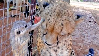 Download African Cheetah Versus Meerkats | Big Cat Gets Small Animal to Groom Him & Then Purrs | Loves It Video