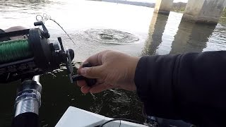 Download A NEW Species & a MONSTER Catch! Ft. Chatt Cats Fishing (Chattanooga, TN) Video