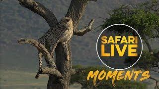 Download Kakenya the Cheetah Climbs A Tree Video