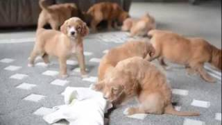 Download Irishdoodle Puppies For Sale Video