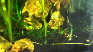 Download Poda de acuarios (Vallisneria Spiralis) Video