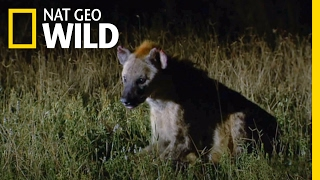 Download A Hyena Queen Deposed | Animal Fight Night Video