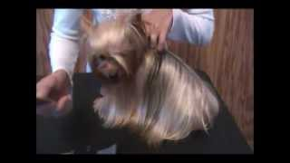 Download How to Brush a Yorkie Video