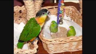 Download Caique Parrot Pictures Video