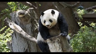 Download Thema des Tages - Die neue Pandaanlage im Zoo Berlin ist fast fertig Video