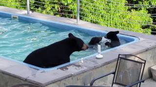Download Bears in our pool Video