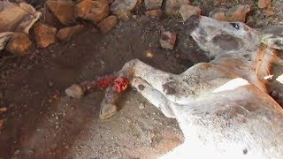 Download Abused donkey with legs lacerated rescued Video