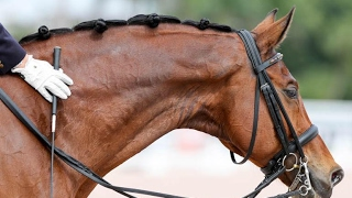 Download FOR SALE: Young Confirmed Grand Prix Horse SIR VELO Video