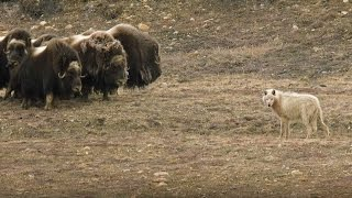 Download Wolves vs Herd of Muskox | Snow Wolf Family And Me | BBC Earth Video