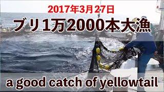 Download 【九鬼定置漁業】ブリ1万2000本大漁!2017年3月27日 Video