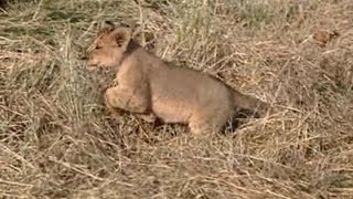 Download Brave Lion Cub Is Not Scared Of The Car! Video
