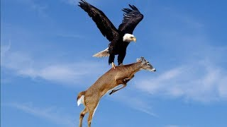 Download American Eagle - Nature Documentary (HD) Live Stream Video